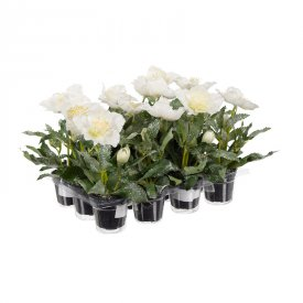 christmas-rose-white-in-pot