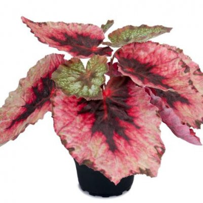 Rex begonia in pot, H20 cm - Mr Plant